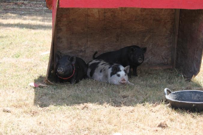 the swine of Baldwin Acres