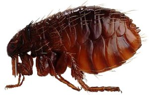image_sci_animal041flea